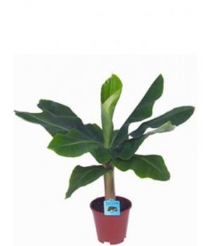 Комнатные растения банан тропикана
