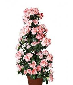Азалия пирамида розовая