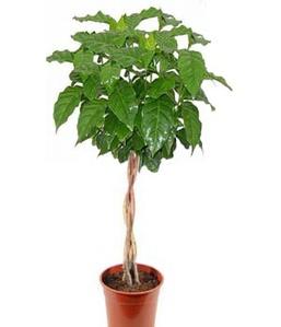 Кофейное дерево плетеный ствол