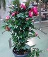 Камелия Розе Японская
