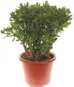 Крассула Денежное дерево Овата