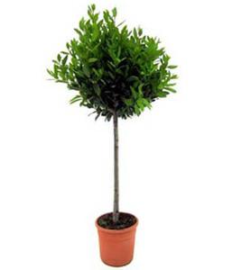 Лавровое дерево