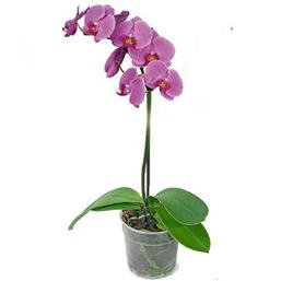 Фаленопсис лиловый 1 ствол